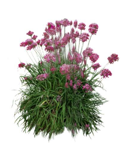 VC_-__Plant_-_Allium_schoenoprasum