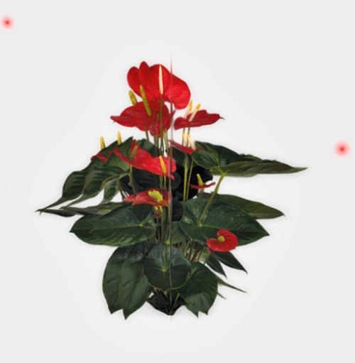 VC_-_Anthurium_Red_Plant_with_flying_Particels